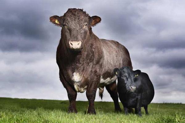 Najmniejsza krowa naświecie