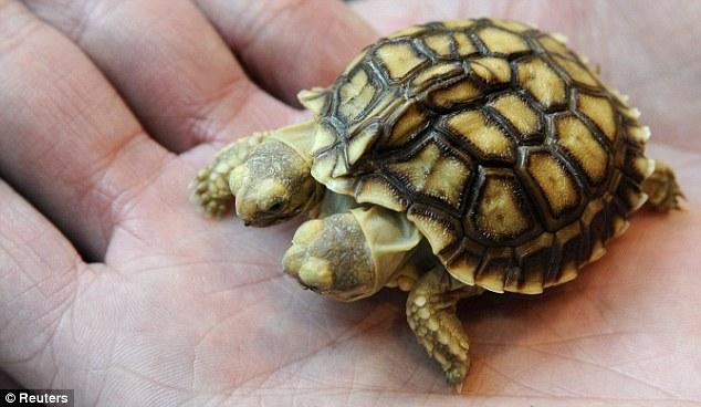 Pierwszy naświecie dwugłowy żółw pustynny
