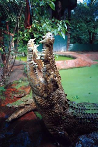 Największy krokodyl wniewoli