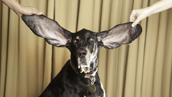 Najdłuższe uszy psa – rekord Guinessa