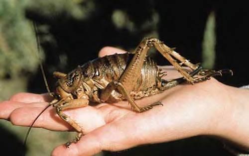 Największy owad świata