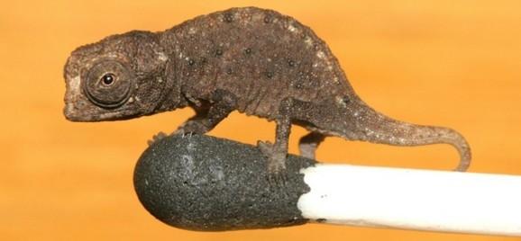 Najmniejszy kameleon świata