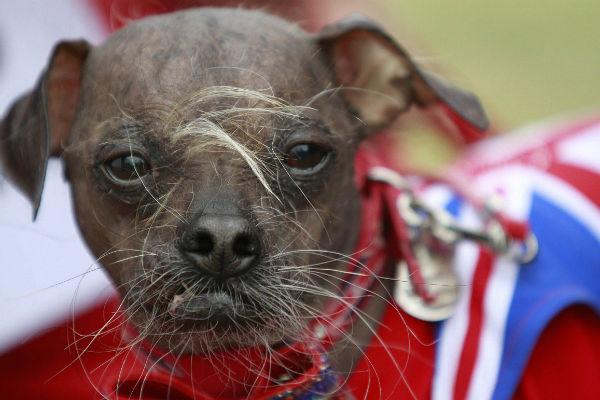 Najbrzydszy pies świata - rekord Guinessa