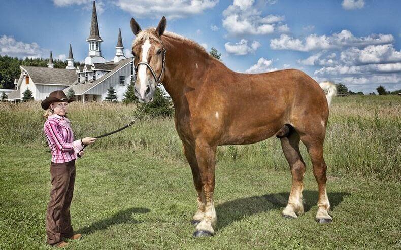 Najwyższy koń świata