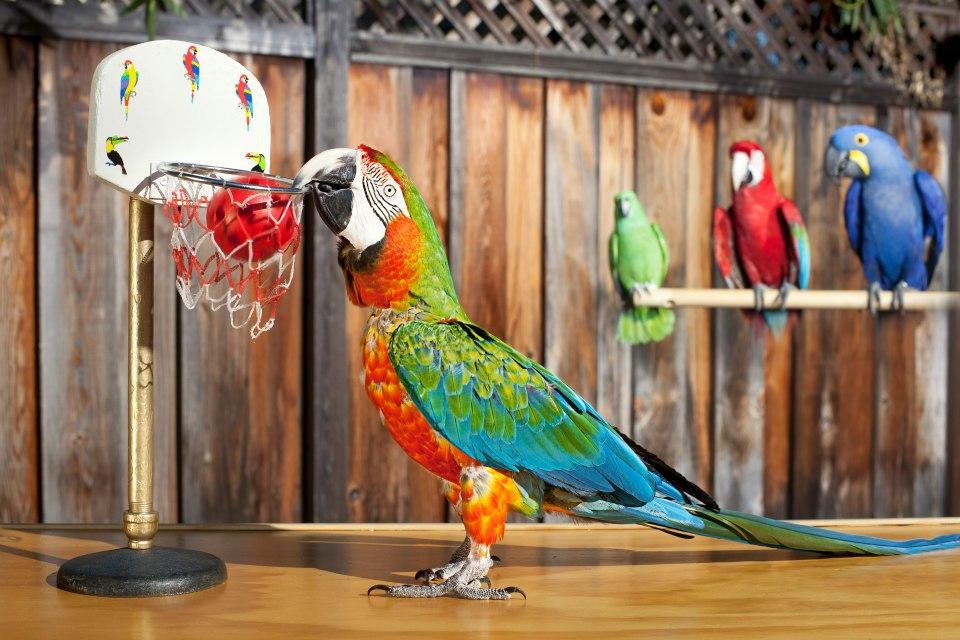 Papuga grająca wkosza