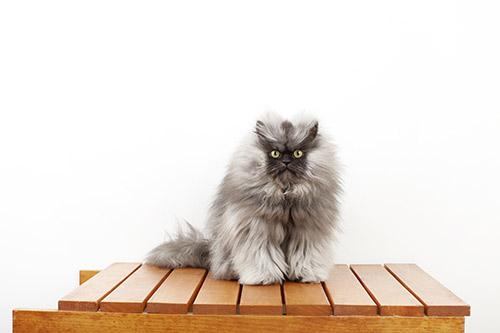 Kot znajdłuższą sierścią