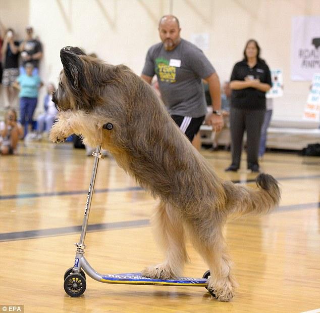 Pies, któryjeździ nahulajnodze