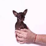 Najmniejszy pies świata
