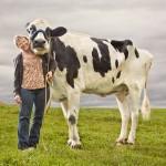 Największa krowa świata