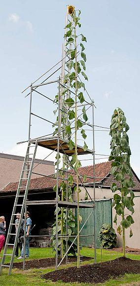 Największy słonecznik - rekord Guinnessa