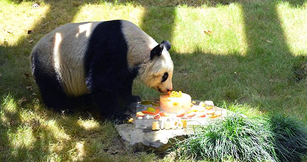 Najstarsza panda wniewoli - rekord Guinnesa