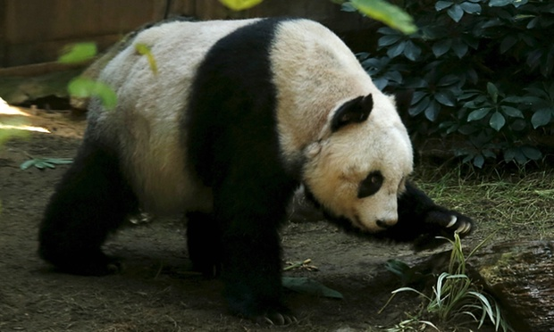 Najstarsza panda wniewoli - rekord Guinnessa