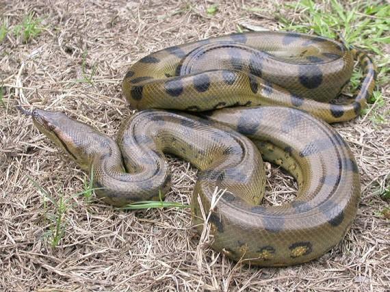 Największy wąż świata - anakonda