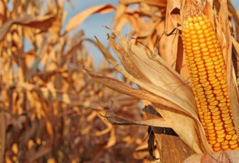 Największy plon kukurydzy