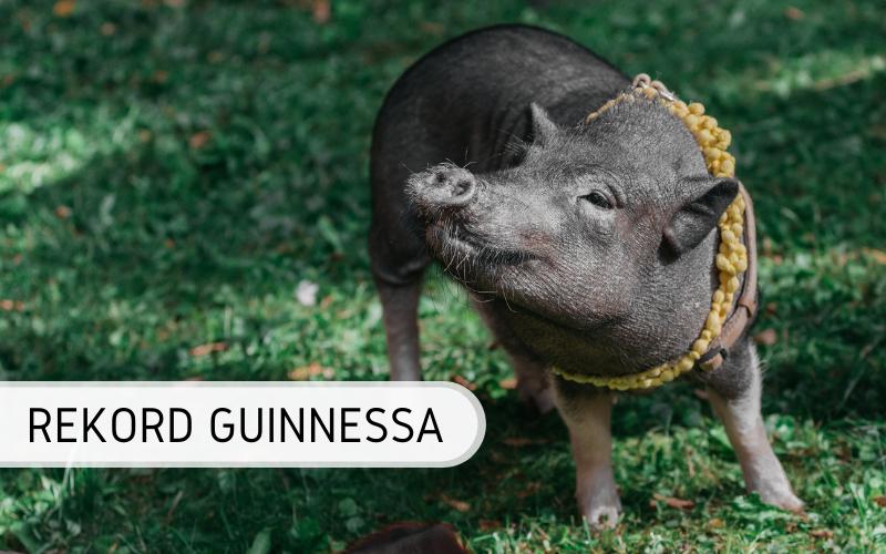 Rekord Guinnessa - najstarsza świnia świata