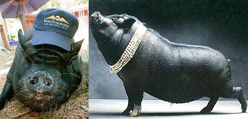 Stacy Kimbell i jej świnia