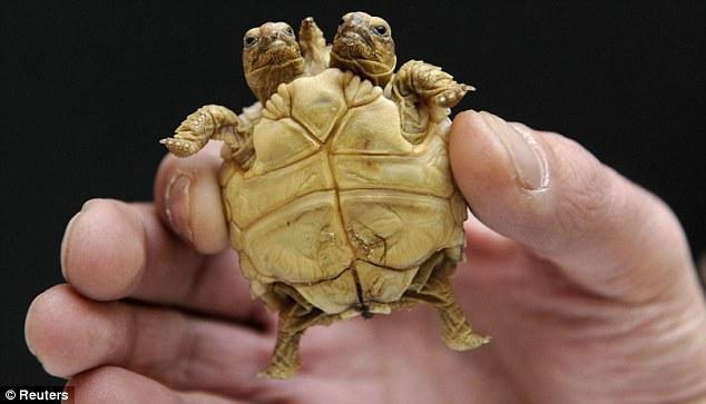 Dwugłowy żółw pustynny