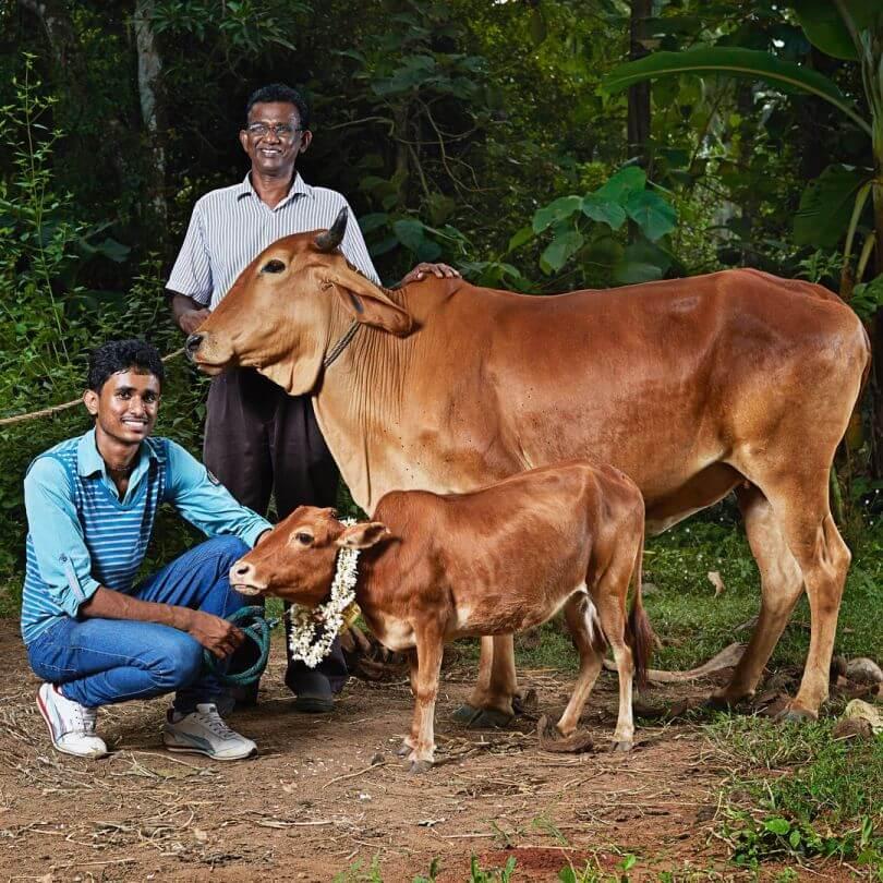 Najmniejsza krowa świata