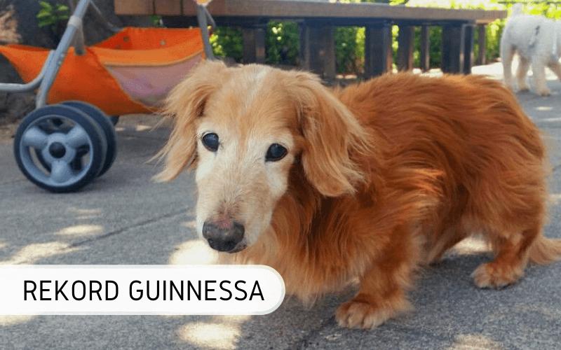 Najstarszy żyjący pies świata