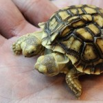 Pierwszy na świecie dwugłowy żółw pustynny