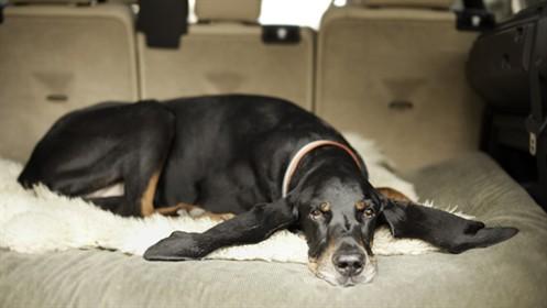 Najdłuższe psie uszy