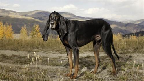 Najdłuższe ucsy psa
