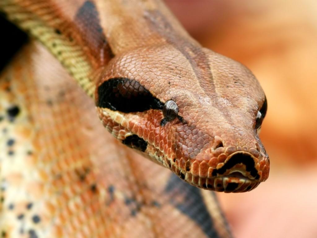 Największy wąż wniewoli