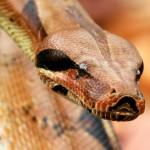 Największy wąż w niewoli