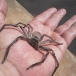 Największy pająk świata