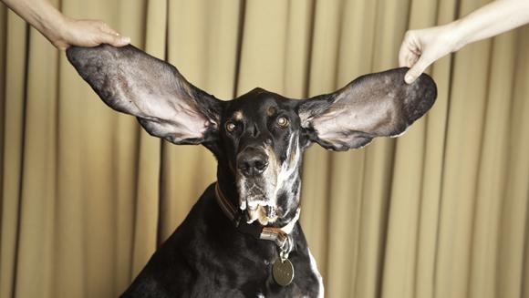 Najdłuższe uczy psa - rekord Guinessa