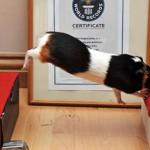 Świnka morska – najdłuższy skok