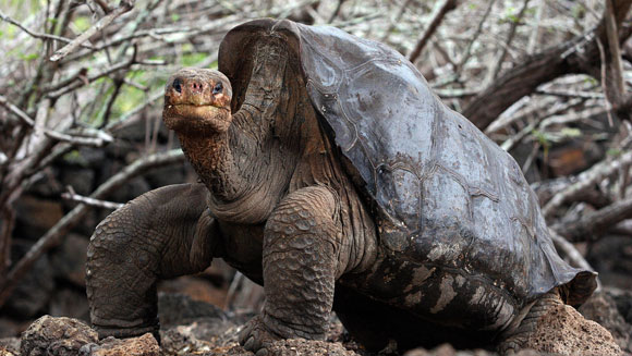 Nie żyje ostatni żółw słoniowy zwyspy Pinta