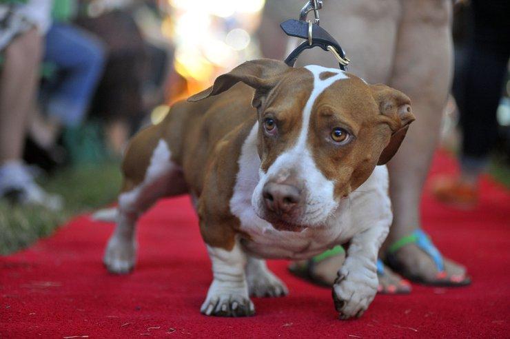 Najbrzydszy pies świata 2013