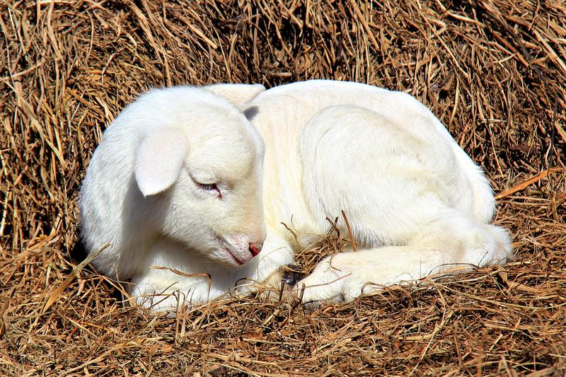 Najcięższa owca świata