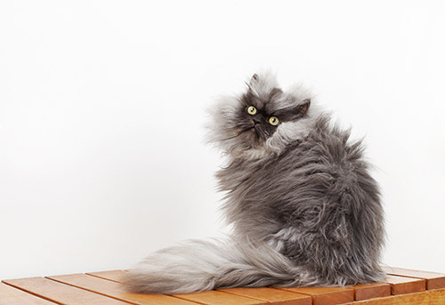 Najdłuższa sierść kota