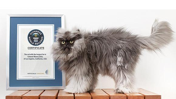 Najdłuższa sierść u kota