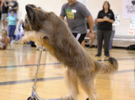 Pies, który jeździ na hulajnodze