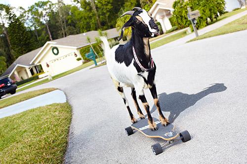 Koza jeżdżąca nadeskorolce