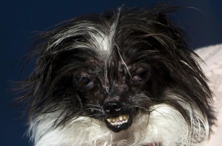 Najbrzydszy pies na świecie 2014