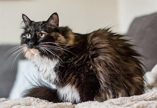 Sophie Smith - kot znajdłuższą sierścią