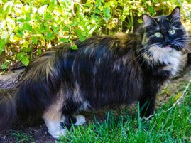 Sophie Smith - najdłuższa sierść u kota