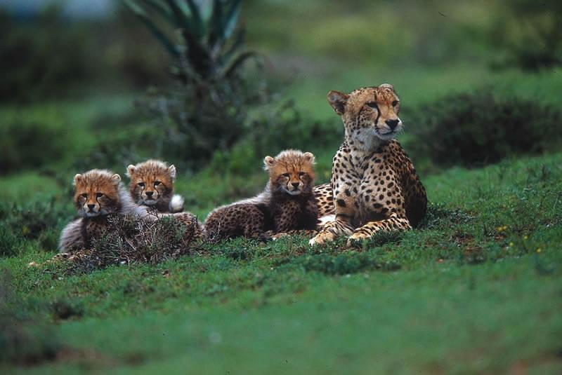 Gepard - najszybsze zwierzę naświecie