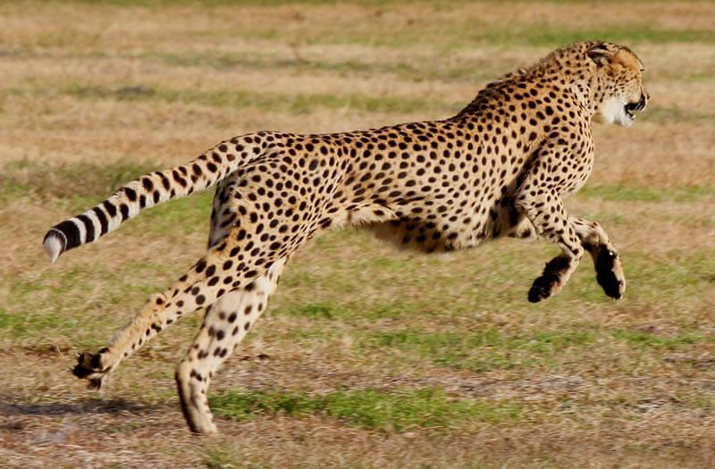 Gepard - najszybsze zwierzę świata