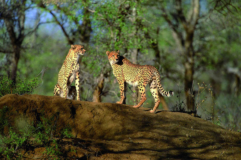 Gepardy - najszybsze zwierzęta świata