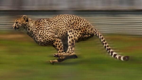 Najszybsze zwierzę świata