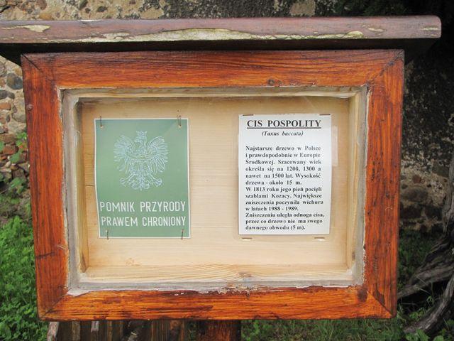 Najstarsze drzewo - Polska