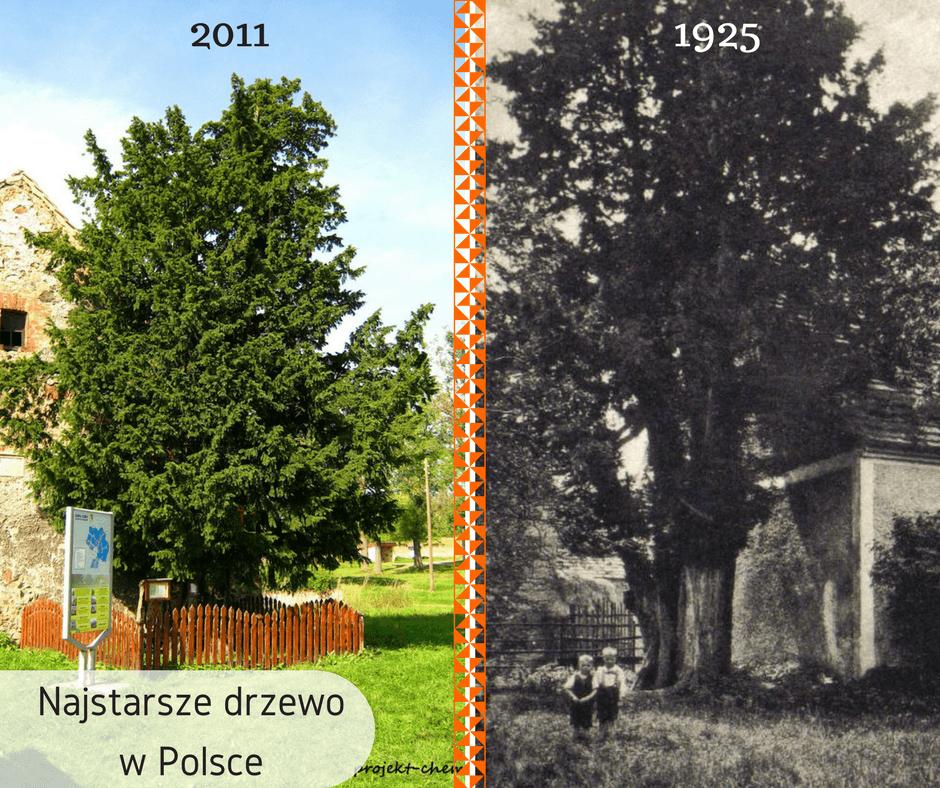 Najstarsze drzewo wPolsce