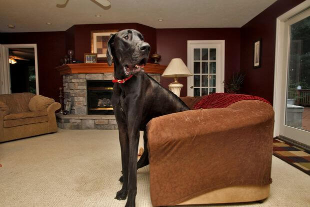 Najwyższy pies świata