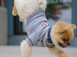 Jiff- najszybszy pies na dwóch łapach - rekord Guinessa
