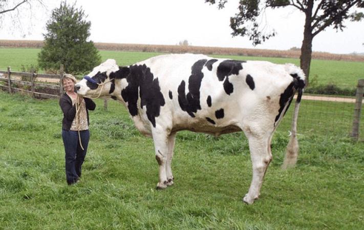 Najwyższa krowa - rekord Guinessa